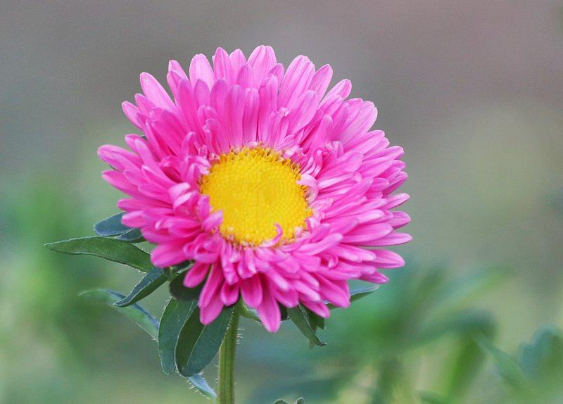Aster ...