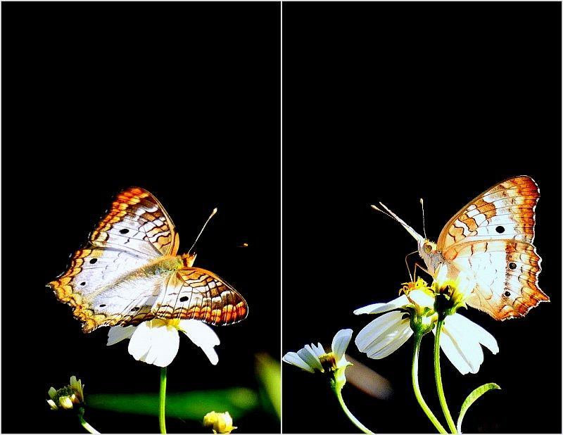 White Peacock Butterfly.