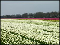 Strawberries field vel Tulips See;)