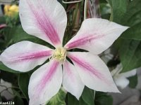 Clematis -,,Andromeda''.X