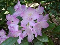 rododendron c d