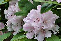 Rododendron........