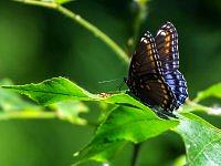 Red-Spotted Purple.