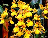 oncidium sweet sugar czyli