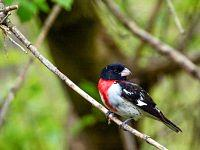 Rose-breasted grosbeak - Łuszcz strojny.( samiec )
