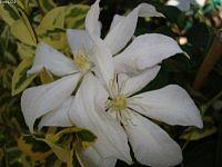 Clematis ' Rocco Colla '.  Makro .