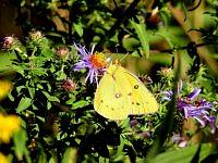 Pink-edged Sulphur.