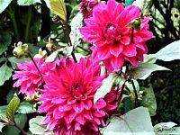 Dalia ' Lithenhaim ' .  Makro .