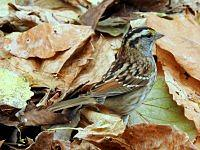 white throated sparrow pasowka